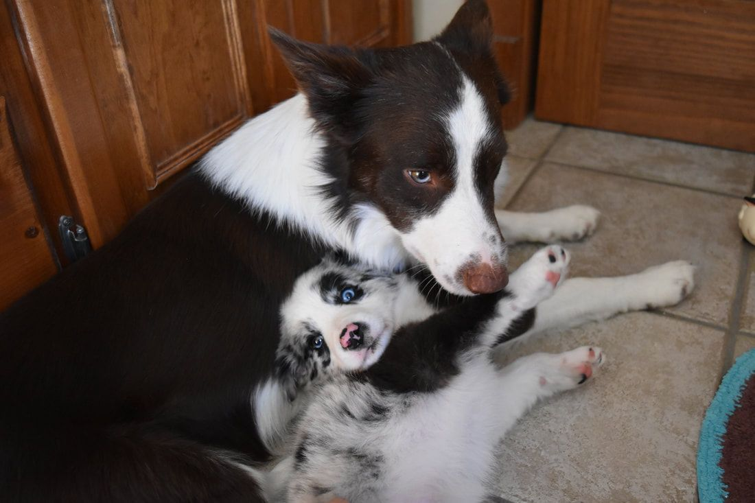 A Red And White Border Collie Snuggles With A Blue Merle Border Collie Bordercollie Collie