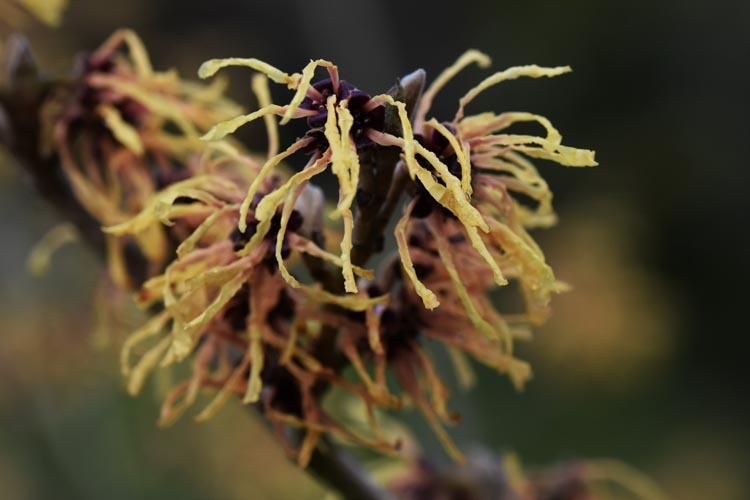 Hamamelis x intermedia 'Aurora' (Witch Hazel) in 2020