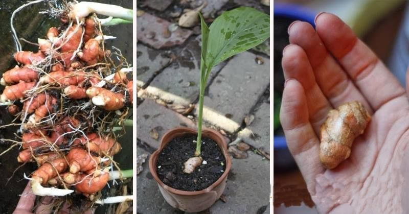 How To Grow An Endless Supply Of Alkalizing Anti Inflammatory Ginger Turmeric And Garlic At Home Ehealthyfood Growing Ginger Turmeric Herbs