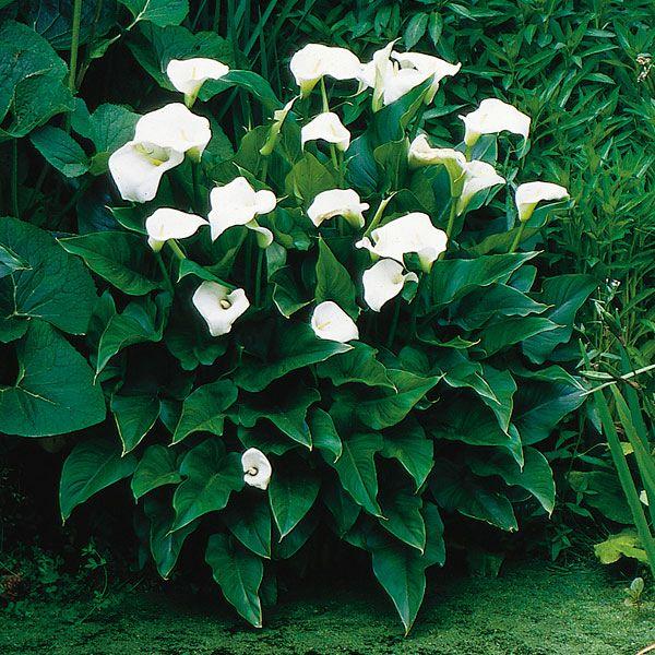 Calla Lily Zantedeschia Hybrid My Garden Life Lily Plants Zantedeschia Lily Plant Care