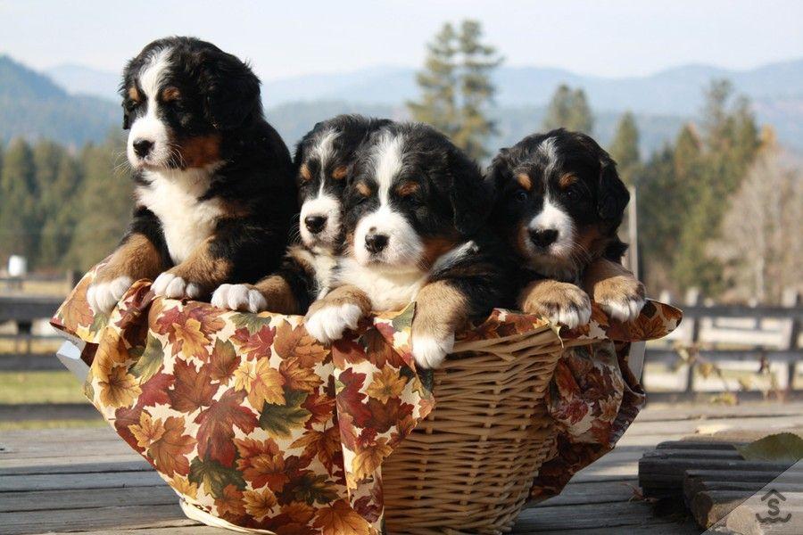 Bernese Mountain Dogs Sweetwater Farms Bernese Mountain