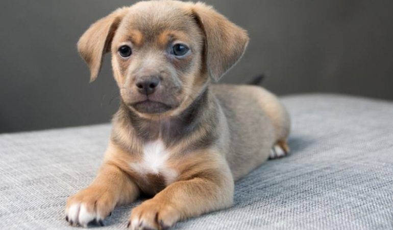 Chiweenie Puppies Information Chihuahua Dachshund Mix Rescue Dog Of The Week Sammi The Chihuahua Dachshund Mix Chih In 2020 Chiweenie Puppies Chiweenie Dachshund Mix