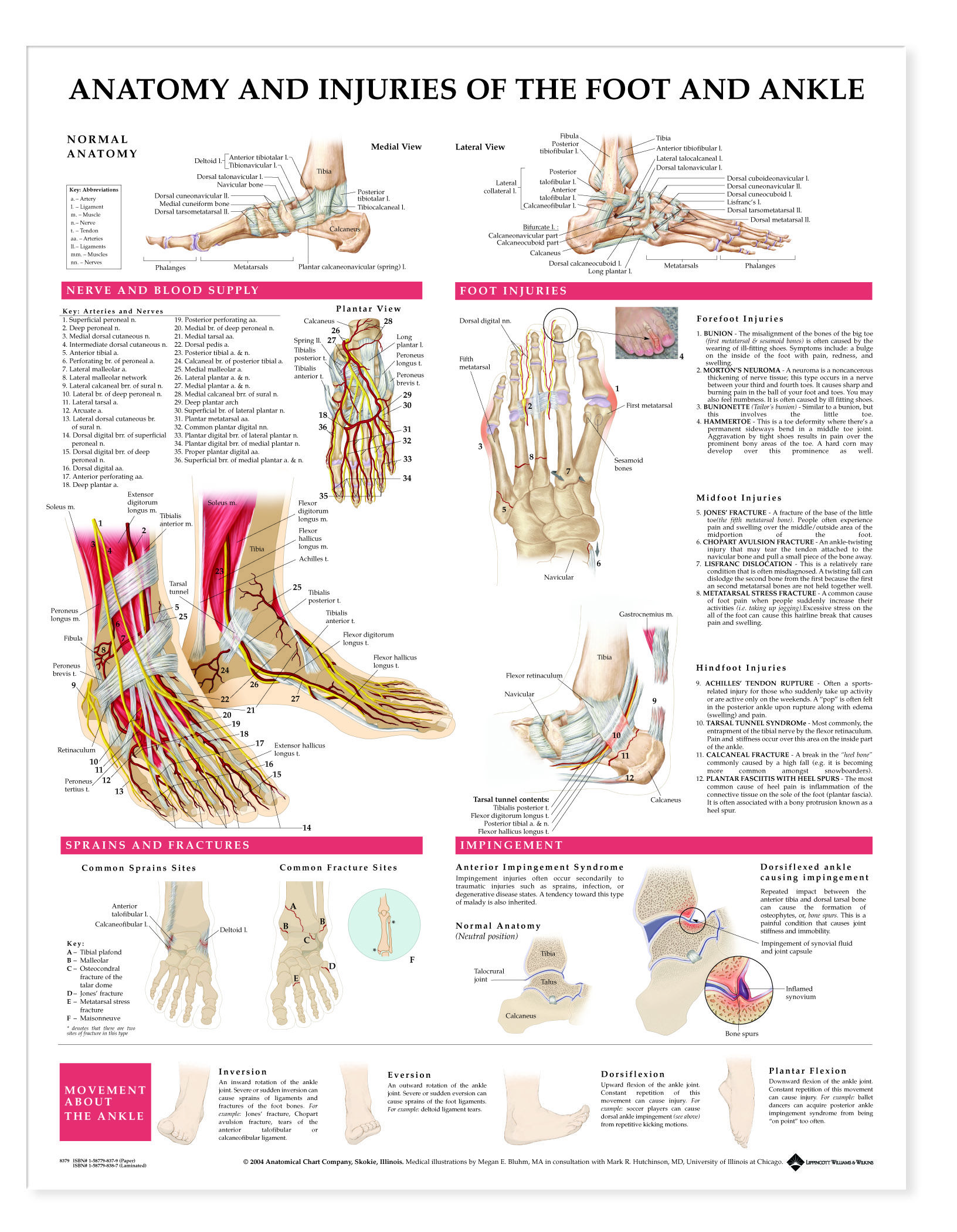 Anatomy and Injuries of the Foot & Ankle | anatomia | Pinterest ...