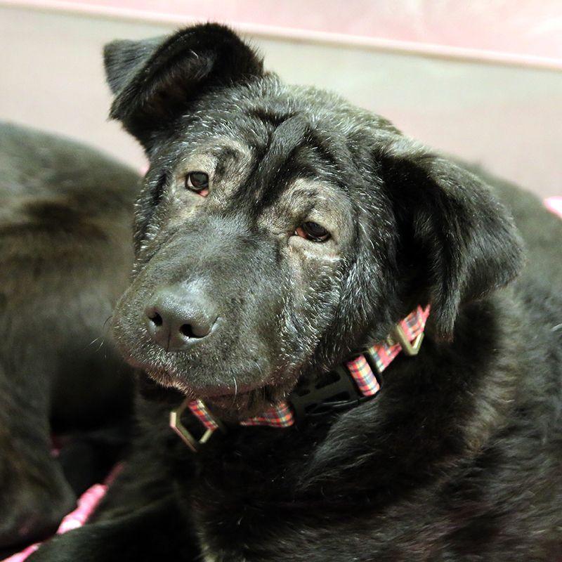 Pei Is A 1yr 3mo Female Curly Coated Retriever Shar Pei Mix Available Through Spca Tx Can Be Seen At Jan Rees Jones Anima Dog Adoption Animals Shar Pei Dog