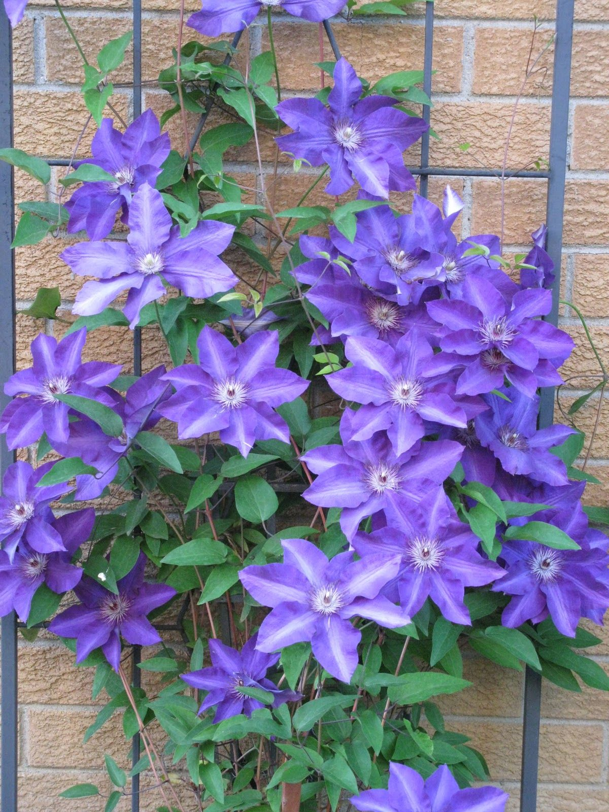 clematis x 39 the president 39 visual gardening pinterest clematis climbers and garden. Black Bedroom Furniture Sets. Home Design Ideas