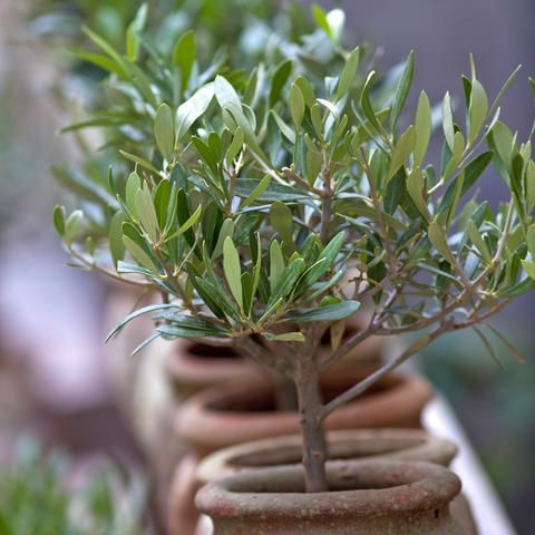 Der Olivenbaum Ein Hauch Von Suden Olivenbaum Topfpflanzen Olivenbaumchen