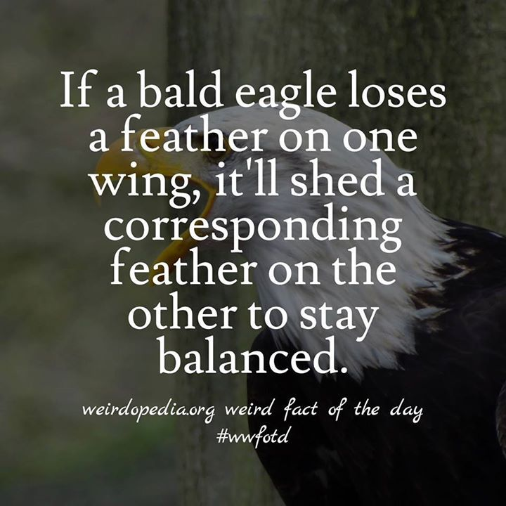 Awesome Bald Eagles Also Mate For Life And Both Parents Care For The Chicks.  #wwfotd · Cool FactsAwesome FactsWeird ...