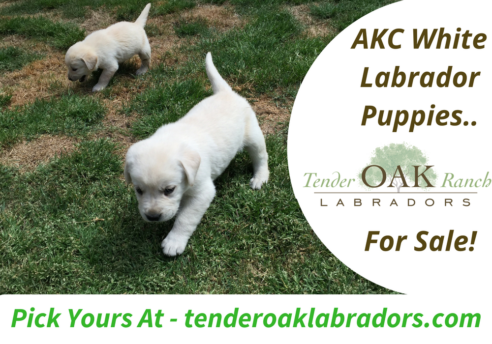 We Have Enjoyed Matching Our Precious Labrador Retrievers Puppies With Families In Nort Labrador Retriever Puppies Labrador Puppies For Sale Labrador Retriever