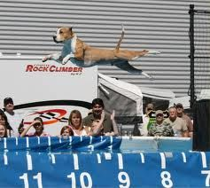 Maximus the Pit Bull competing in dock diving- My baby looveesss to dive into the water