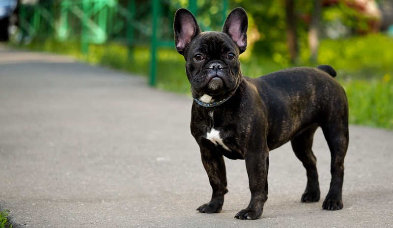 2019 Top Breeds Of Dogs For Seniors French Bulldog Puppies