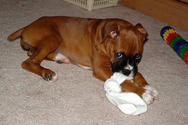 The Sock Attacked Me First Boxer Dogs Boxer Dog Puppy Boxer Puppies