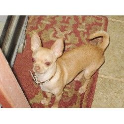 Chihuahua Rescue Nc Glenn Osborne Chihuahua Stud In Rural Hall North Carolina Listing Id Bulldog French Bulldog Animals