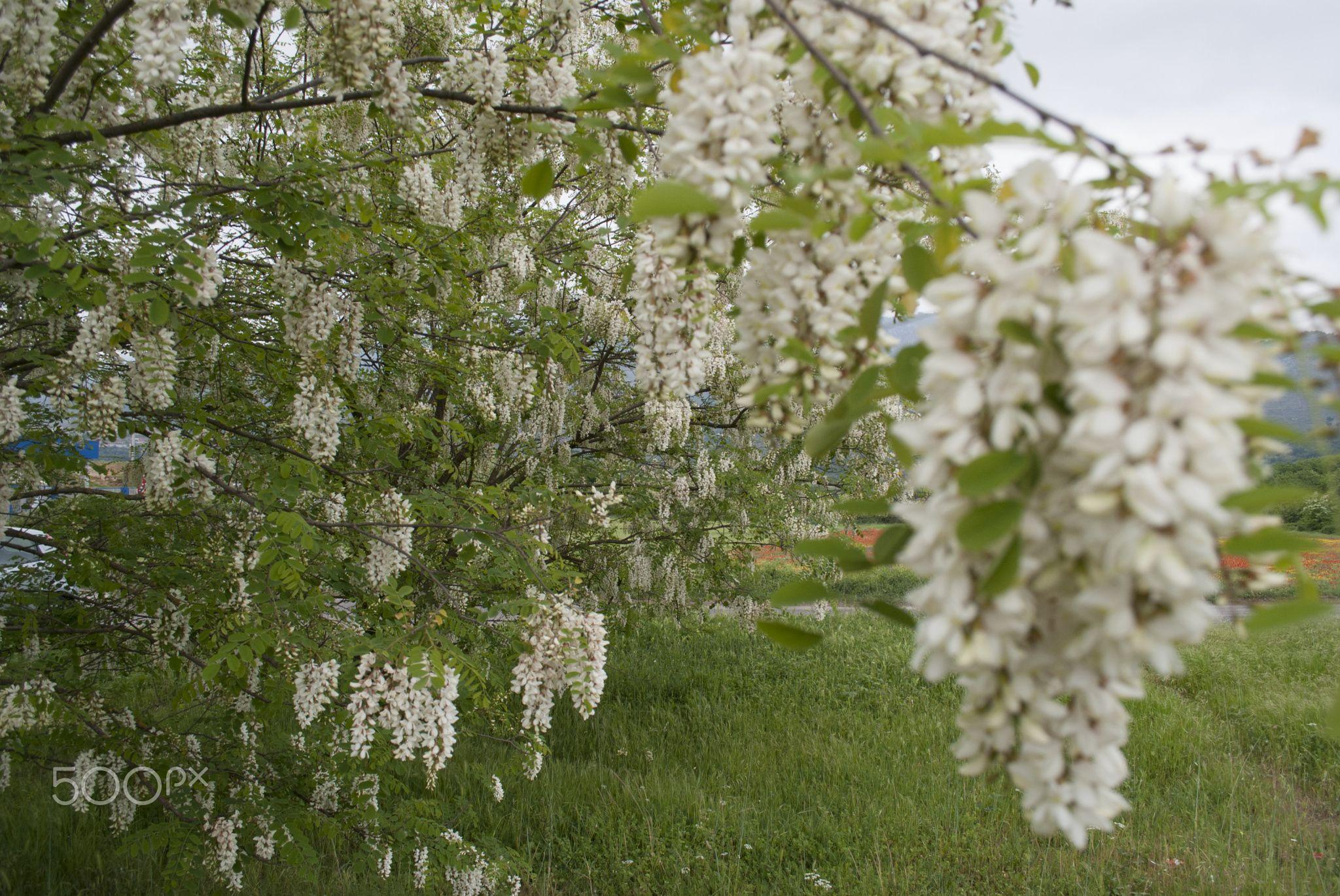 White Acacia Tree Native European Wisteria Acacia Tree Wisteria Tree