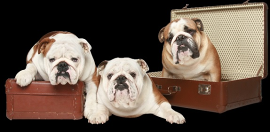 English Bulldogs For Sale In Texas Bulldog puppies for