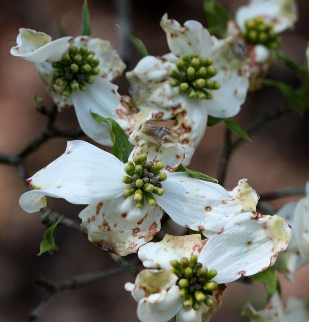 Dogwood Diseases & Insect Pests Dogwood trees, Plant