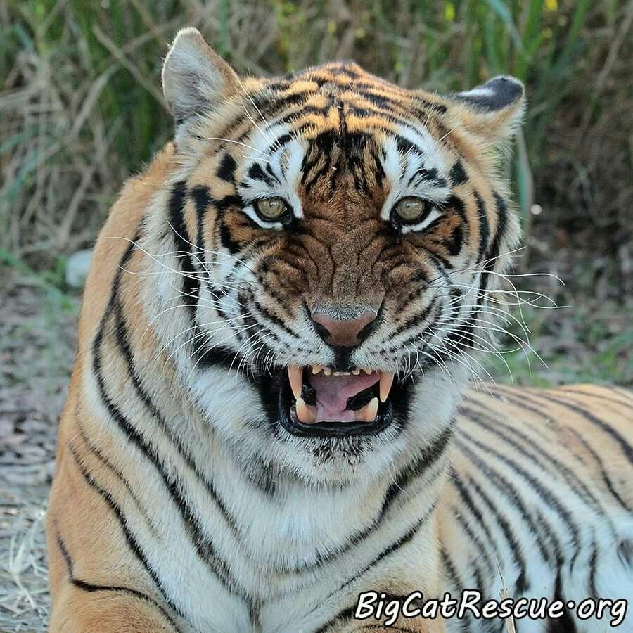 Bengali tiger (With images) Big cat rescue, Big cats