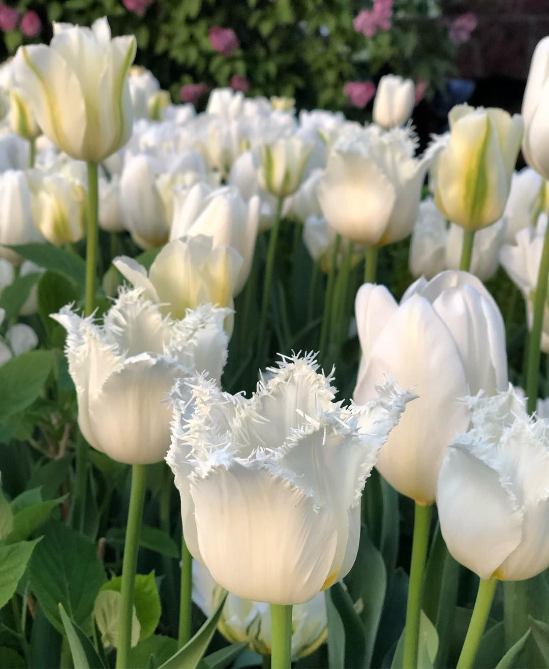 This Vidal Blend Of Tulips From Colorblends Is One To Repeat Love The Fringe Beautiful Flowers Garden Flower Garden Garden Ideas To Make