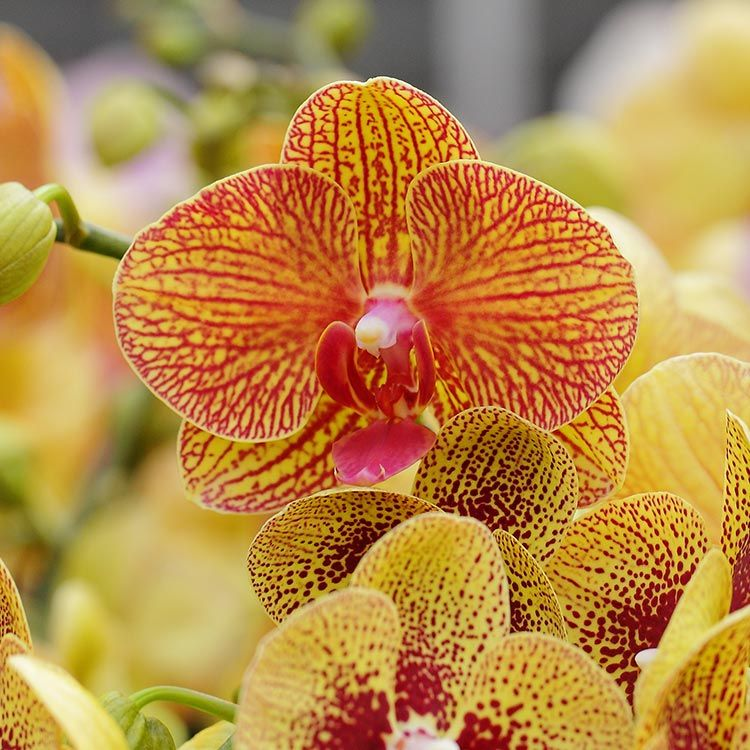 8afb09c4be4557125119267e350b5c5c - How To Get An Orchid To Bloom A Second Time