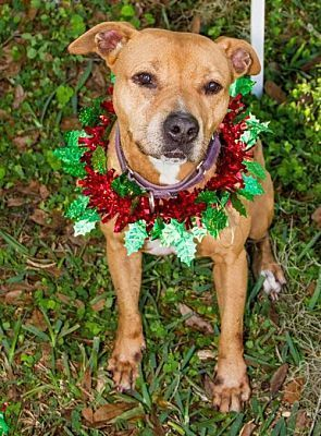 Pictures of Lizzie a Black Mouth Cur for adoption in Sarasota, FL who needs a loving home. #blackmouthcurdog Pictures of Lizzie a Black Mouth Cur for adoption in Sarasota, FL who needs a loving home. #blackmouthcurdog Pictures of Lizzie a Black Mouth Cur for adoption in Sarasota, FL who needs a loving home. #blackmouthcurdog Pictures of Lizzie a Black Mouth Cur for adoption in Sarasota, FL who needs a loving home. #blackmouthcurdog