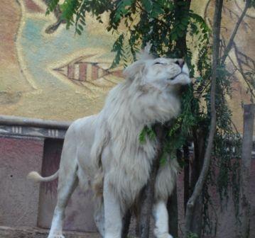 Calins Du Lion Blanc Lion Blanc Calin Lion