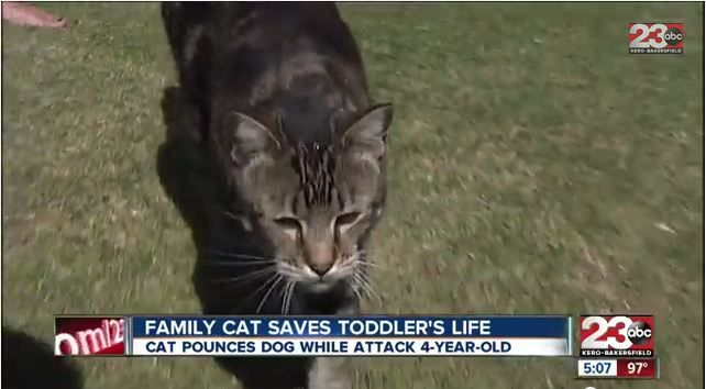Meet The Hero Cat Who Saved Boy 4 From Vicious Dog Attack Dog