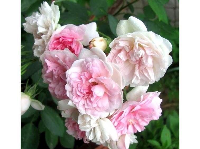 Fiori Bianchi Simili Alle Rose.Belle De Sardaigne Masflesa Fiori Rosa Rose Rampicanti Rose