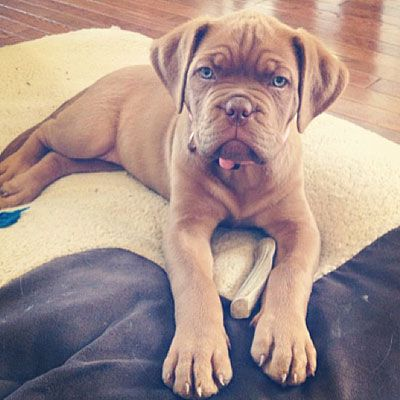 Canadian Living S Pet Contest Finalists And Winners Canadian Living Dog Breeds French Mastiff Puppies Mastiff Puppies