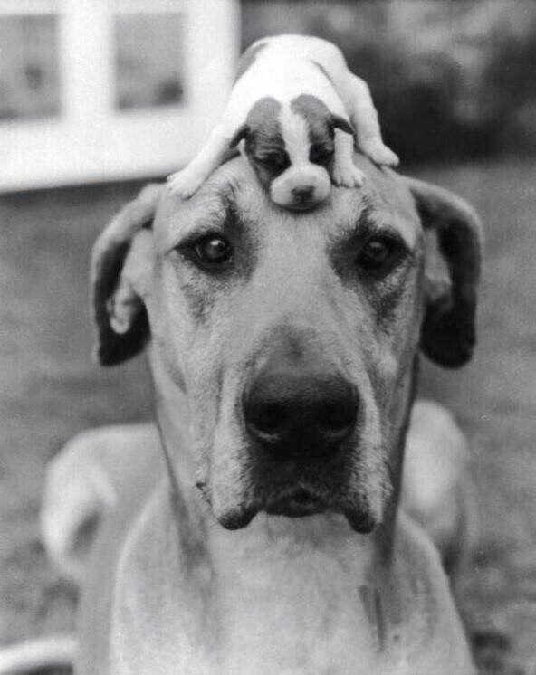 Big dog and a small dog c. 1950