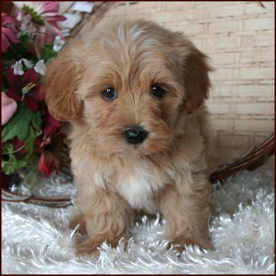 Maltipoo Puppy 4 Sale| Maltepoo| Maltese Poodle Puppies ...  Maltipoo Puppy ...