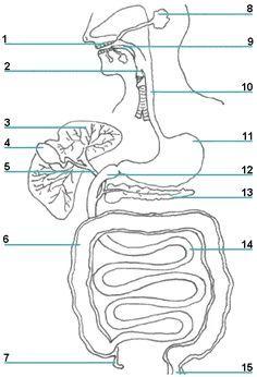www.lessontutor.com: the Digestive System- printable ...