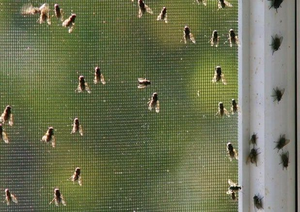 How To Get Rid Of Flies In Your House Naturally » Jodeze ...
