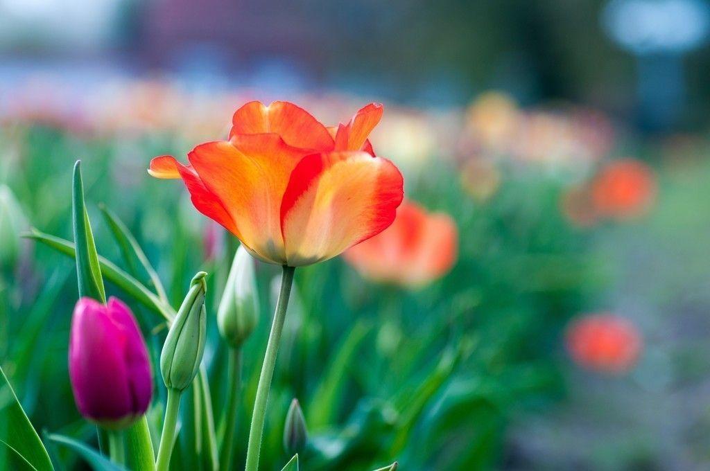 Garden Tulip Flowers Blur 4k Wallpaper Purple Garden Flowers Nature Flowers Instagram Blur flower background images hd