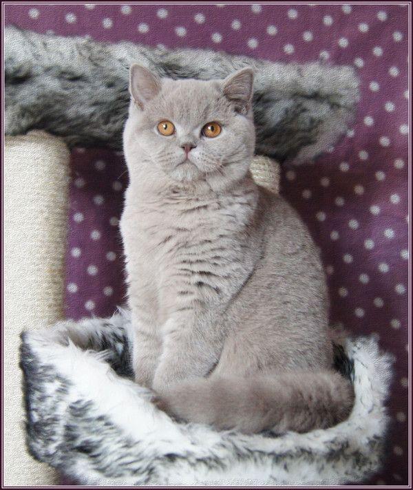 Femelle British Shorthair Chats Adorables Chats Et Chatons Jolis Chats