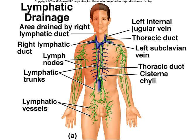 the lymph system | natural remedies: articles & research, Muscles