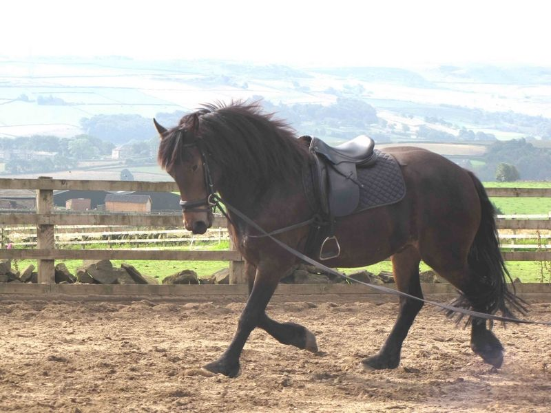 Friesian x Welsh Cob Gelding All Rounder Horse for sale in Hebden