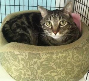 I M Wide Eyed For A Forever Family Gideon Whs Georgia Avenue Adoption Center Washhumane Org Adopt 202 723 5730 Dog Love Cat Adoption Beautiful Cat