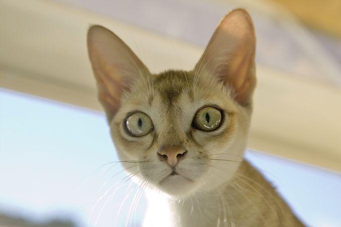 Singapura Cats And Kittens Singapura Cat Pets Cats Cat Breeds