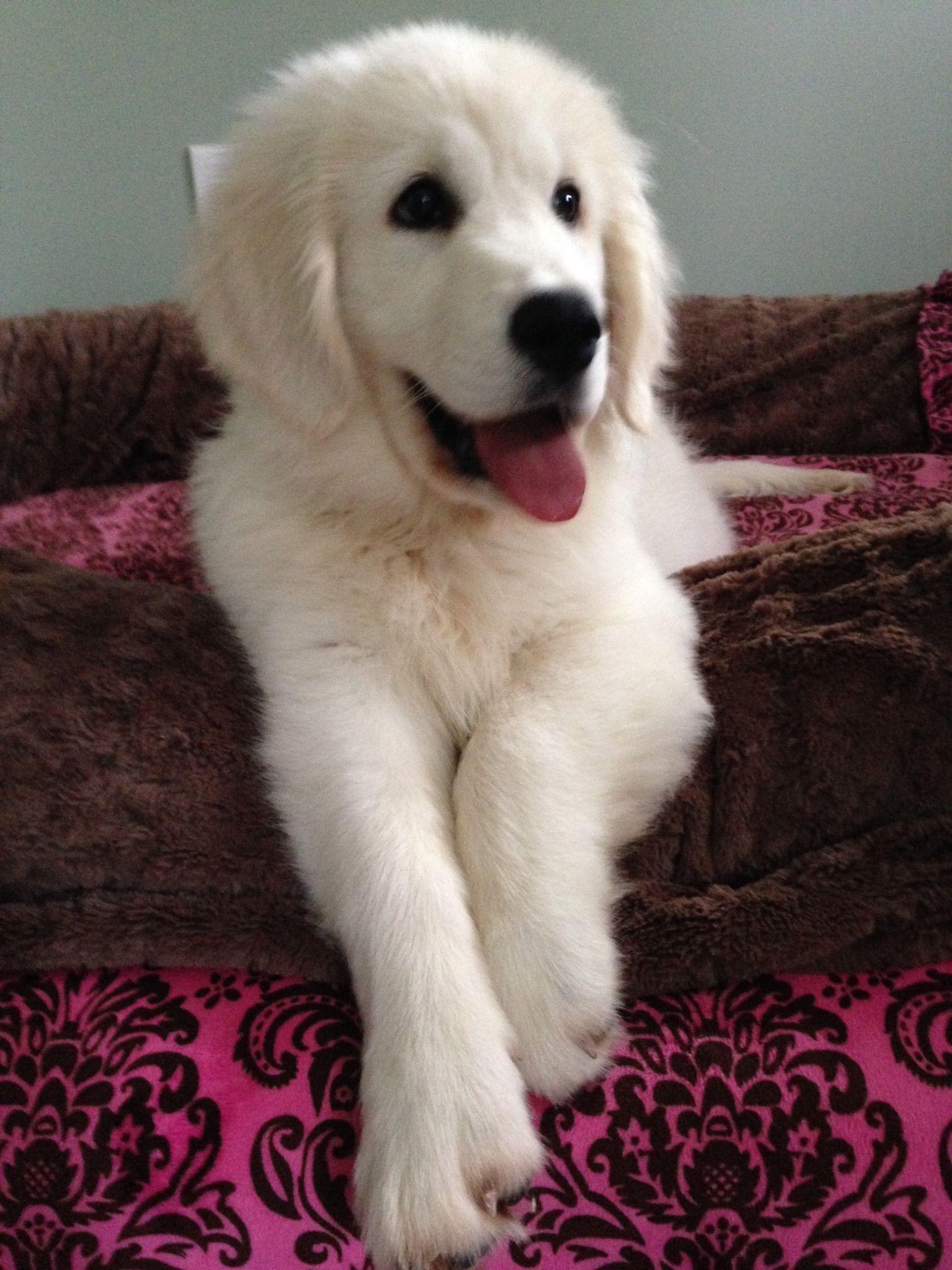 English Cream retriever Dogs & Puppies Puppy Love English