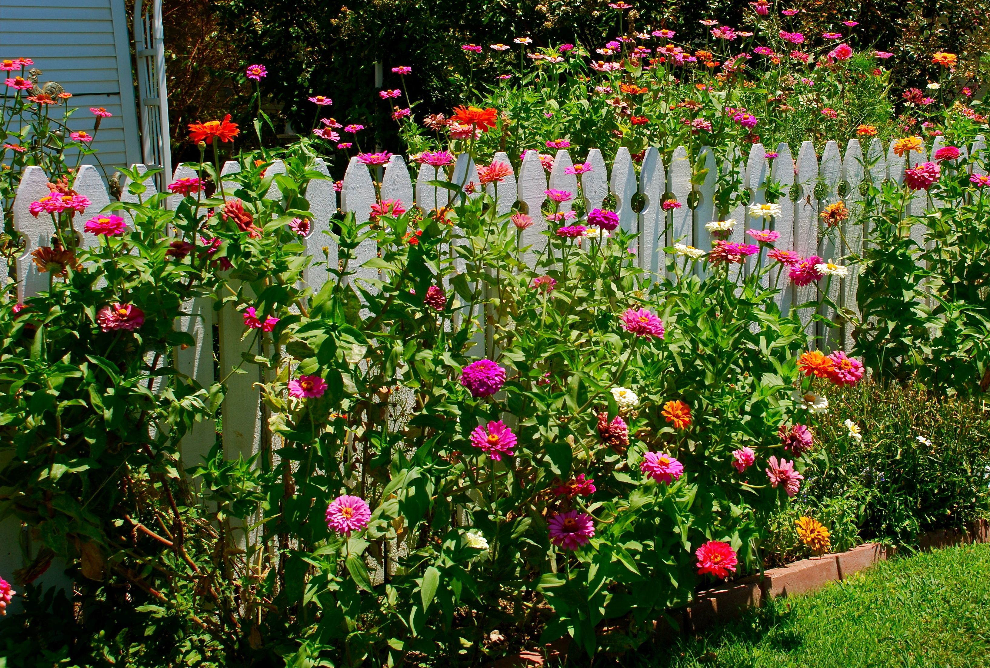 Fence With Zinnias  Google Search