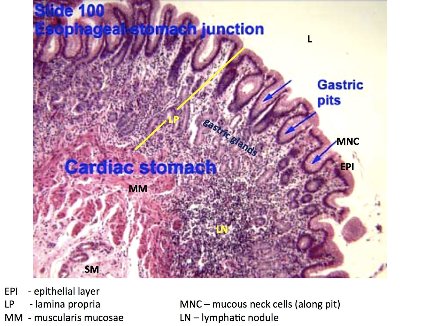 Hsitology Esophagus Stomach Junction And Gastric Pits