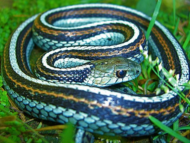 Green Glow Morph Brown Striped San Francisco Garter Snake
