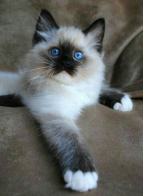 What A Cutie Pie Best Cat Breeds Beautiful Cats Cute Animals