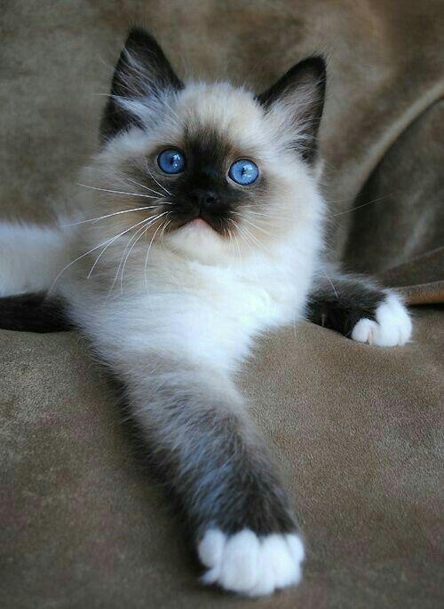 What A Cutie Pie Best Cat Breeds Ragdoll Cat Breeders Cute Cats
