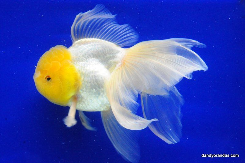 White Oranda Dandyorandas Com Oranda Goldfish Pet Fish Goldfish