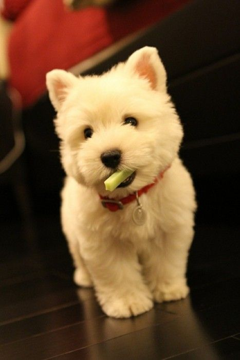 This Isn T A Product But I Really Want To Hug This Puppy White West Highland Terrier Pup If They Are Bred With A Cute Animals Cute Animal Pictures Puppies