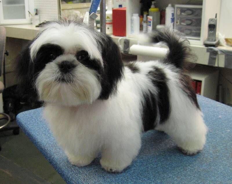 Shih Tzu Mixed With Papillon Petit Basset Griffon Vandeen Shih Tzu Puppy Shih Tzu Grooming Shih Tzu Haircuts