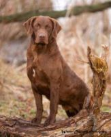 Learn All About The Breeder Sandbar Chesapeake Bay Retrievers