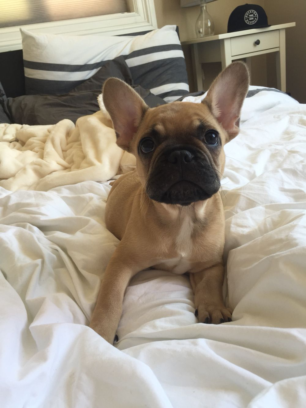 Love waking up to this cute face! Baby Frenchie French