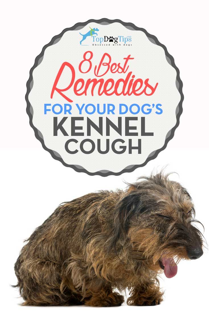 8 Remedies For Dog S Kennel Cough For The Love Of Dog Dog Cough