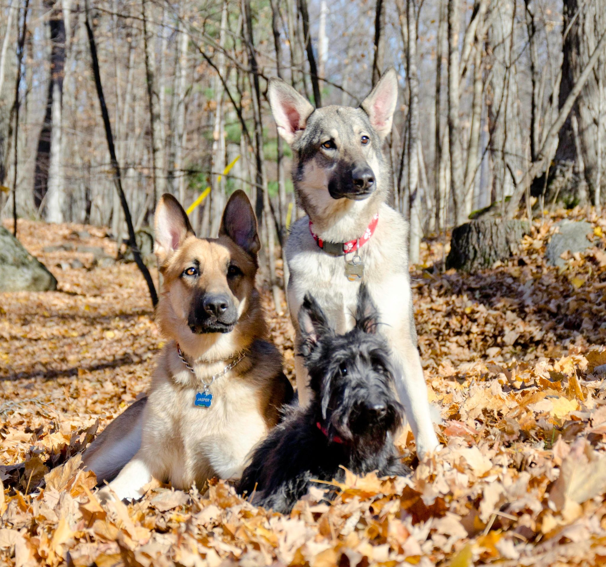 Our happy dog family portrait German Shepherds Jasper and